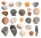 Cockleshells on a white background Stock Photography