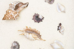 Cockleshells are on white sand Royalty Free Stock Photos