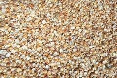 Cockleshellsbakgrund Skal som ligger på kusten, fuktigt och skiner från solen efter vågorna på kusten royaltyfri bild