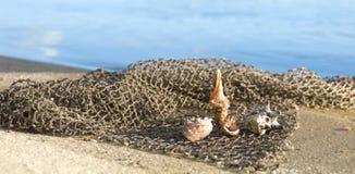 Cockleshellslüge auf einem Fischernetz an Land Stockbilder