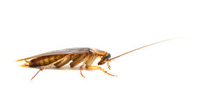 Cockroach Royalty Free Stock Photos