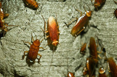 Free Cockroach Stock Photography - 11196862