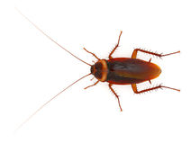 Cockroach. Big Cockroach on white background stock images