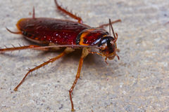 Free Cockroach Royalty Free Stock Image - 26284496