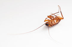 Cockroach. Dead cockroach on white background Royalty Free Stock Photos