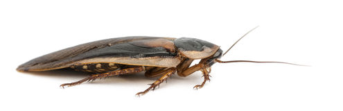 Cockroach. Blattella germanica, against white background royalty free stock photos