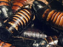 Cockroach Stock Photography