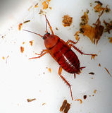 Cockroach. Larger brown cockroach on the gray-white background Royalty Free Stock Images