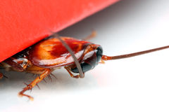 Cockroach Royalty Free Stock Photo