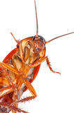Cockroach. Upside down on white background royalty free stock photos