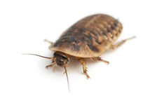 Cockroach against white background Stock Photos