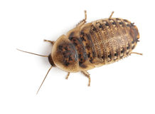 Cockroach Against White Background Royalty Free Stock Photos