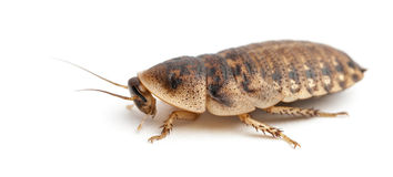 Cockroach Against White Background Royalty Free Stock Photography