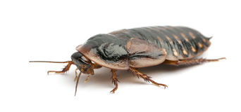 Cockroach against white background Stock Image