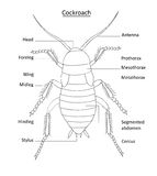 Cockroach anatomy- line art with labels on white. Clearly labeled illustration of cockroach anatomy on white. All layers named for easy editing Royalty Free Stock Photo