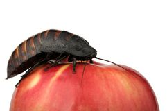 Cockroach on the apple Stock Photos