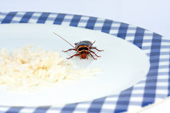 Cockroach approaching. Macro of cockroach approaching rice on a plate Stock Photography