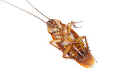 Cockroach be killed a moment ago. Stock Photography
