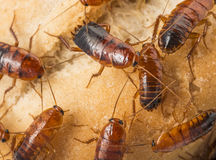 Cockroach - Blatta lateralis Stock Images