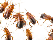 Cockroach - Blatta lateralis Royalty Free Stock Photo