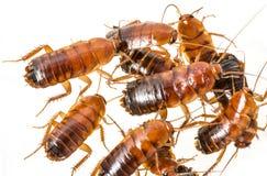 Cockroach - Blatta lateralis Royalty Free Stock Image