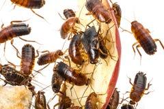 Cockroach - Blatta lateralis Royalty Free Stock Photos