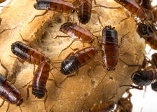 Cockroach - Blatta lateralis Stock Image