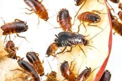 Cockroach - Blatta lateralis Stock Photo
