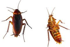 Cockroach brown royalty free stock images