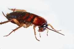 Cockroach brown royalty free stock image