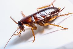Cockroach brown royalty free stock photo