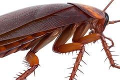 Cockroach bug american creature, close view Stock Photos