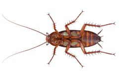 Cockroach bug brown creature, bottom view Stock Images