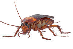 Cockroach bug brown small Stock Images