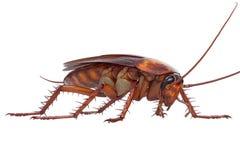 Cockroach bug small Stock Photos