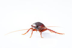 Cockroach bug  on white background Royalty Free Stock Images