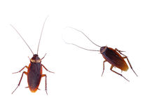 Cockroach carrier pathogens royalty free stock photography