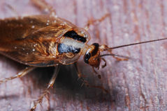 Cockroach Closeup Stock Photo