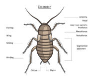 Cockroach in color with easy-to-remove labels Royalty Free Stock Photos