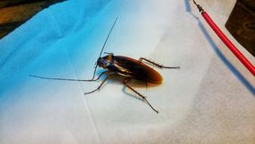 Cockroach compelling girls. Image cockroach big Brown color Stock Photography