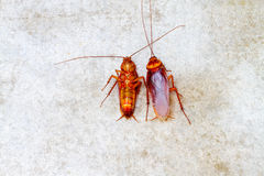 Cockroach on concrete floor royalty free stock photo