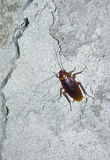 Cockroach on concrete wall Royalty Free Stock Images