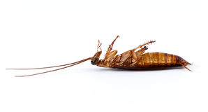 Cockroach Royalty Free Stock Image