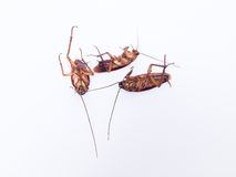Cockroach is dead on white background Stock Images