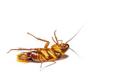 Cockroach dead on white background Royalty Free Stock Photo