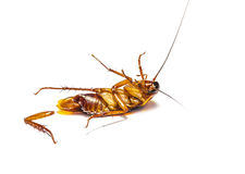 Cockroach dead on white background Royalty Free Stock Photography