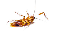 Cockroach dead on white background Royalty Free Stock Image