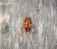 Cockroach dead Stock Photography