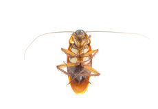 Cockroach die on white background Royalty Free Stock Images