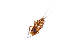 Cockroach died isolated. Royalty Free Stock Photos